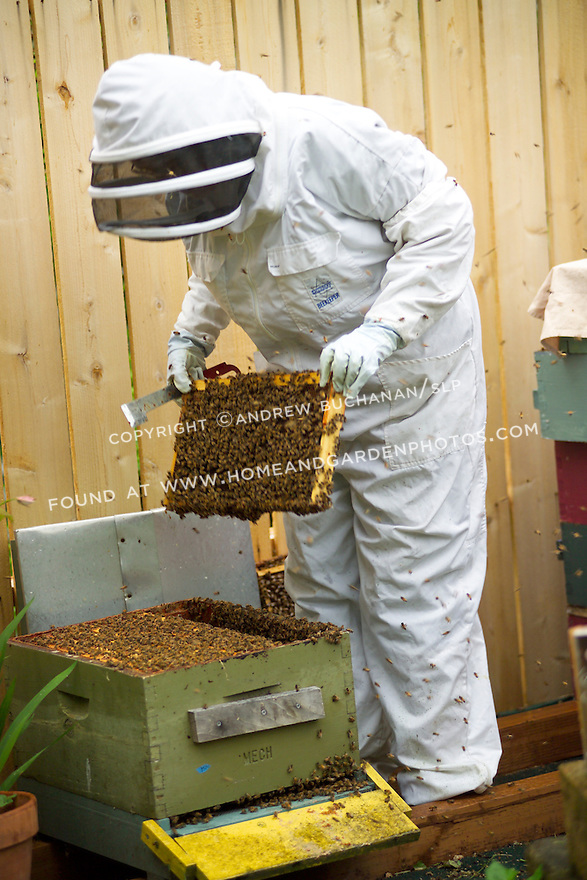 A backyard beekeeper in Seattle, WA, fully dressed in a protective suit, mask, and gloves, removing one of the many bee-laden combs that populate the brood box as the bees swarm from the box to defend their hive.
