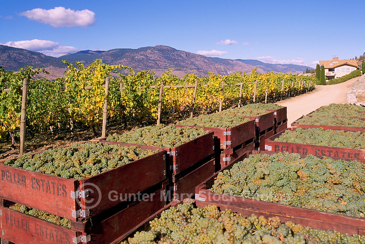 Harvested Green Grapes packed in Crates in Vineyard, Okanagan Falls, South Okanagan Valley, BC, British Columbia, Canada