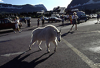 A mountain goat crosses a parking lot at Logan Pass on Going to the Sun Road in Glacier National Park. Goats, deer and other wildlife have become addicted to the glycol in antifreeze and lick the pavement for the sweet taste.  It is poisonous to their systems and eventually kills them.  Tourists were charmed by the tame behavior of the wildlife. I followed the animal and saw it collapse into the bushes panting much like a drug addict.