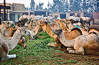 Camels feeding at camel market, Cairo, Egypt
