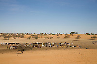 Timbuktu, Mali, 2009 –  Tuareg men tend a herd of cattle around a well in the Sahel region of the Sahara near Timbuktu.