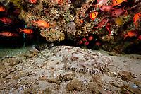 Tasselled wobbegong, Eucrossorhinus dasypogon, dive site: Cendana Jetty, Waigeo island, Raja Ampat, West Papua, Indonesia, Indo-Pacific Ocean