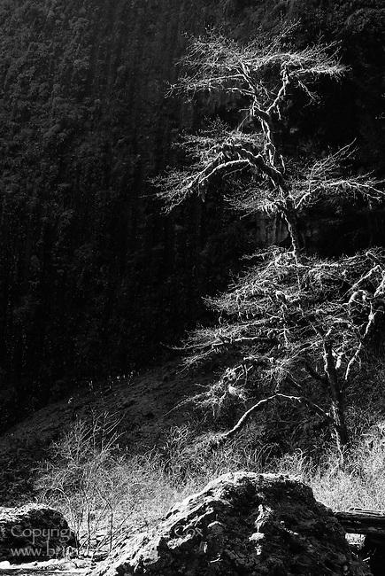 Tree near Abiqua Falls, Oregon