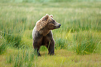 Alaska coastal brown (grizzly) bear walks in grass and looks alert.  Lake Clark National Park Alaska.  Summer. <br /> <br /> Photo by Jeff Schultz/SchultzPhoto.com  (C) 2018  ALL RIGHTS RESERVED<br /> Amazing Views-- Into the wild photo tour 2018