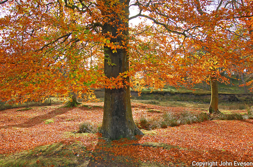 Autumn leaves and woodland, Trough of Bowland, Lancashire. Beech...Copyright John Eveson 01995 61280..j.r.eveson@btinternet.com