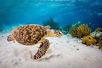 Hawksbill sea turtle, Eretmochelys imbricata, swims over shallow reef, Bonaire, Netherland Antilles, Caribbean Sea, Atlantic Ocean