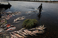 A fisherman pulls nets filled with salmon at fish camp.