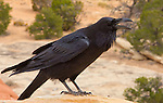 Canyonlands National Park, Utah, Raven, Corvus corax, Chesler Park, the Needles District, Southwest, United States, USA,