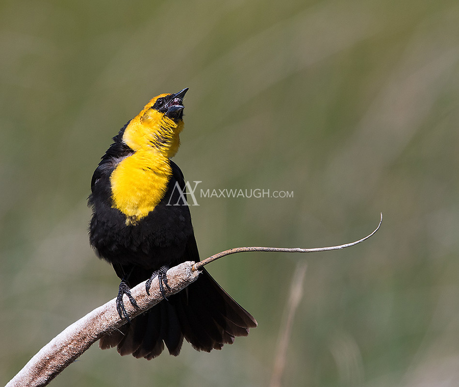 A male Yellow-headed blackbird sounds his reedy territorial call.