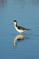 Black-necked Stil (Himantopus mexicanus)