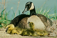 Mother Canada Goose, Branta canadensis, sits in nest with goslings at the waters edge