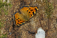 Großer Fuchs, saugt Baumsaft, Nymphalis polychloros, large tortoiseshell, blackleg tortoiseshell, La Grande tortue