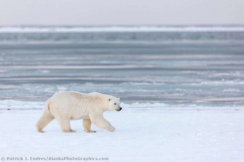 Female bear walks along the edge of the Beaufort Sea, Arctic, Alaska.