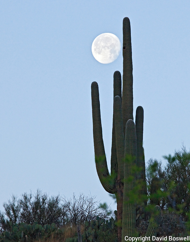 A moon rises behind a saguaro in Catalina State Park, north of Tucson, Arizona