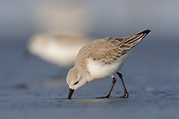 Foraging Sanderling (Calidris alba) in basic (winter) plumage. Grays Harbor County, Washington. March.