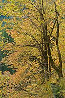Bigleaf Maple in Mt. Baker National Forest
