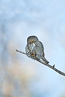 Northern Pygmy Owl in Jasper National Park, Alberta, Canada