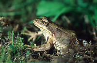 Grasfrosch, Gras-Frosch, Frosch, Rana temporaria, European Common Frog, European Common Brown Frog