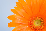 Petals and head of orange daisy