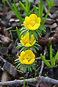 Winter aconite (Eranthis hyemalis), early February. A wildflower also known as wolf's bane.