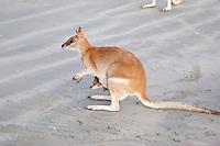 Agile Wallaby w Joey, Cape Hillsbourough NP, Queensland, Australia