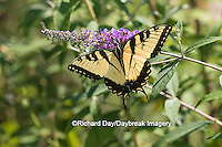 03023-02901 Eastern Tiger Swallowtail Butterfly (Papilio glaucus) on Butterfly Bush (Buddleia davidii), Marion Co., IL