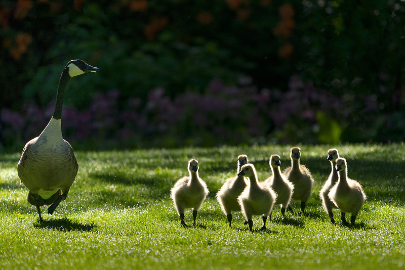 Canadiian goose with young goslings.Crystal Springs Rhododendron Gardens, Oregon