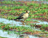 Adult buff-breasted sandpiper