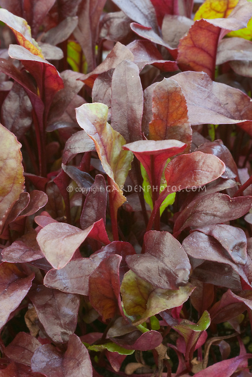 Red leaves of Beet Bull's Blood 'Red Devil' closeup