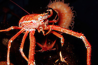 Squat lobster, Munida quadrispina, at depths of over 4000 feet . Monterey Bay National Marine Sanctuary , California (c)