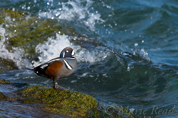 Harlequin Duck (Histrionicus histrionicus), male in breeding plumage, with crashing waves, Barnegat Inlet, New Jersey, USA