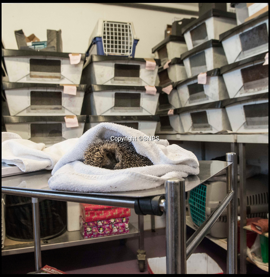 BNPS.co.uk (01202 558833)<br /> Pic: LeeMcLean/BNPS<br /> <br /> Hedgehog high-rise...Wiltshire Wildlife Hospital near Salisbury has had nearly 300 hoglet admissions.<br /> <br /> Hogletarian crisis...Rescue centres across Britain are being overwhelmed by thousands of juvenile hedgehogs this winter - with some being forced to close their doors to new admission's due to a lack of food and blankets to look after them.<br /> <br /> Thousands of hoglets are being admitted to animal sanctuaries because they were born during the mild autumn but have not had enough time to put on weight for winter hibernation.<br /> <br /> But the centres, most of which rely on donations to provide their service, are struggling to cope with the huge numbers coming in.<br /> <br /> Many are appealing for extra donations to take up the strain of caring for so many hedgehogs, with some saying they will be forced to close if they don't get more funding urgently.