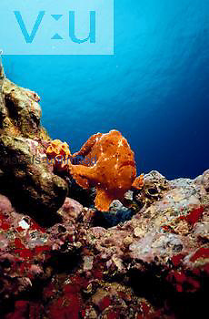 """Commerson's frogfish on top of reef; frogfishes are types of anglerfishes; they are ambush predators that attract prey of small fishes by using a natural """"lure"""" that is a modified appendage located towards the top of their head."""