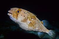 Long-spine porcupinefish, Diodon holocanthus, Mindoro, Philippines, Indopacific