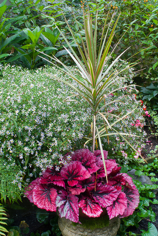 Begonia Chicago Fire, Dracaena Tricolor spikes, Aster, fern, cement urn pot container, foliage plants