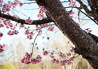 Stock photo - Delicate Pink cherry blossom flowers hanging gracefully from branch.