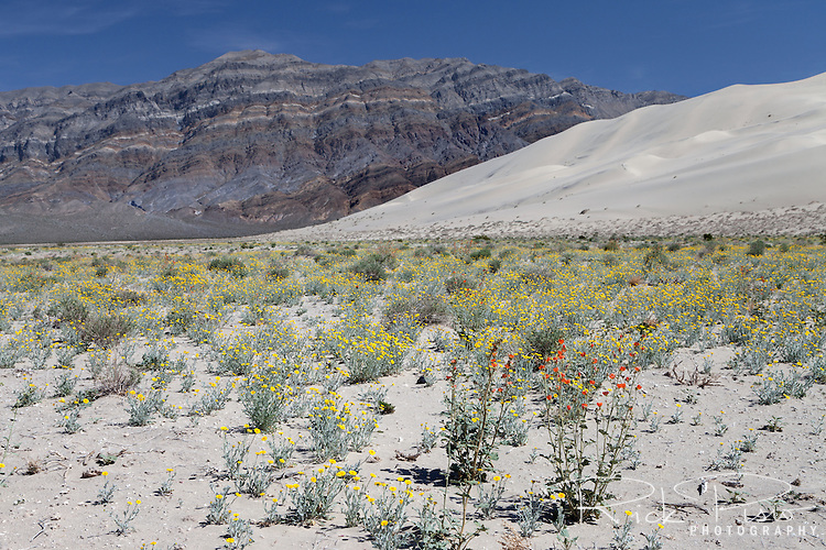 Wildflowers bloom at the base of the 680 foot tall Eureka Dunes in Death Valley National Park.