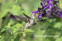 01162-15111 Ruby-throated Hummingbird (Archilochus colubris) at Amistad Salvia (Salvia amistad) in Marion County, IL