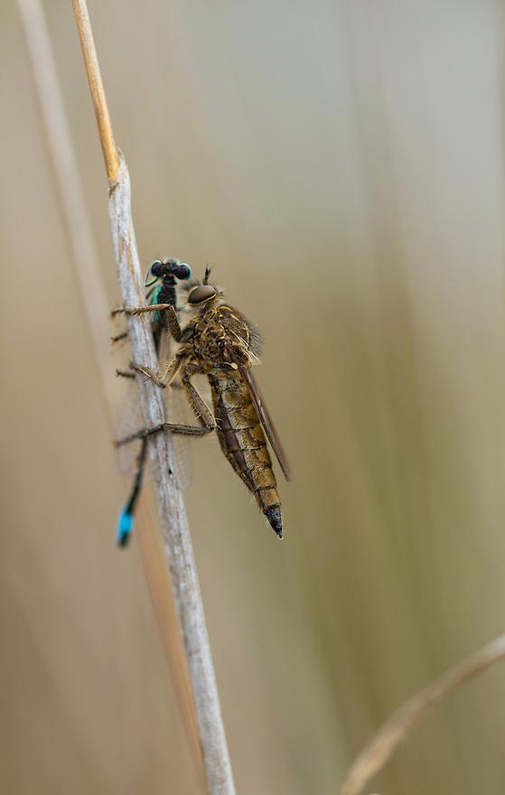 DIPTERO ASILIDO, Campanarios de Azaba Biological Reserve, Salamanca, Castilla y Leon, Spain, Europe