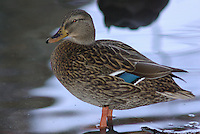 Female Mallard seen up close on the edge of a pond.