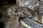 Northern Water Snake, Netrix sipedon