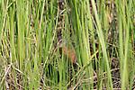 Virginia rail feeding in the vegetation