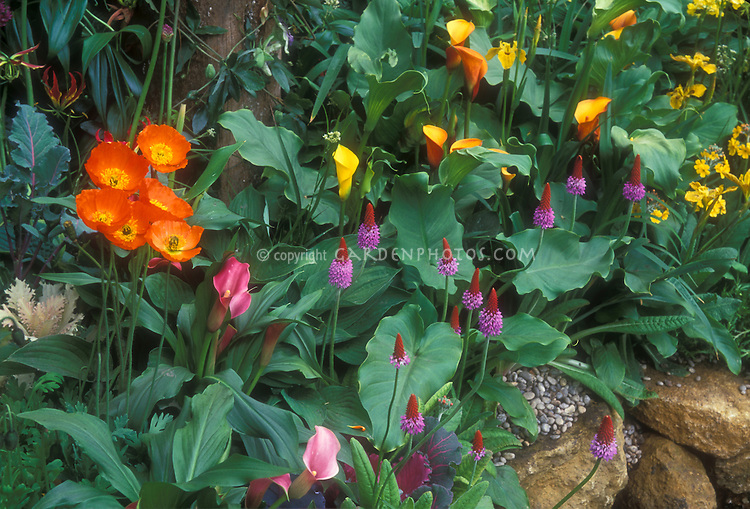 Beautiful unusual colors planted together, from orange to yellow, pink purple, including Primula vialii, Calla lilies, Poppies