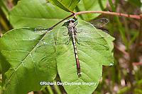 06398-001.02 Jade Clubtail (Arigomphus submedianus) male near wetland, Marion Co., IL