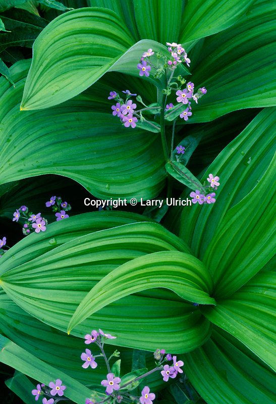 Woods forget-me-not and  false hellebore<br /> Going-to-the-Sun Highway<br /> Glacier National Park<br /> Rocky Mountains, Montana