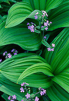 Woods forget-me-not and  false hellebore<br />