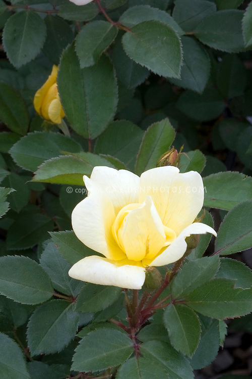 Rosa 'Sunny Knock Out' yellow rose