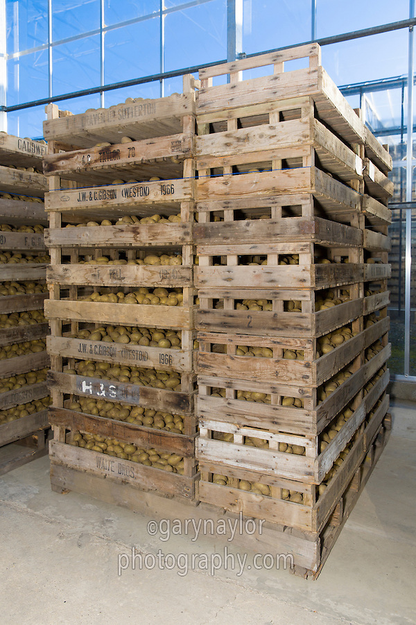 Maris Piper seed potatoes in chitting trays on pallets - Lincolnshire, January