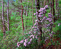 Mountain Laurel Great Smoky Mountains National Park Tennessee