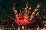 Dumaguete, Dauin, Negros Oriental, Philippines; a fire urchin moving over the sandy bottom